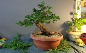 Afaceri cu bonsai in Londra